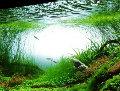水罗兰水上叶图片